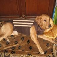 Корсет для собак, имеющих проблемы с позвоночником, дископатией