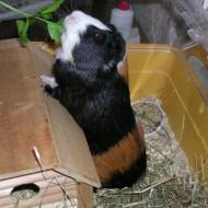 предлагаем передержку для мелких грызунов, морских свинок и кроликов